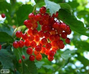 Puzzle Houx avec ses fruits rouges