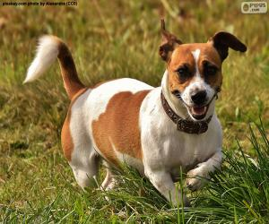Puzzle Jack Russell Terrier