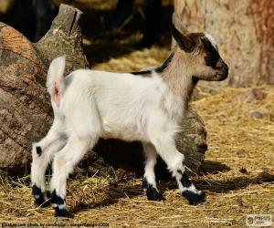 Puzzle Jeune chèvre
