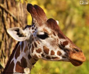 Puzzle Jeune girafe