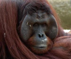 Puzzle L'orang-outan de Bornéo