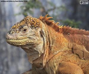Puzzle L'Iguane terrestre des Galapagos