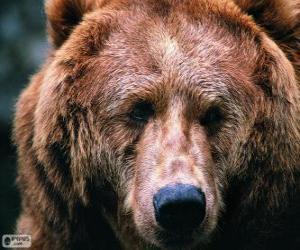 Puzzle La tête d'un grand ours