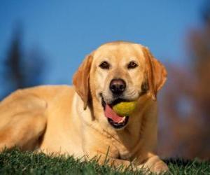 Puzzle Labrador Retriever, avec une balle dans la bouche