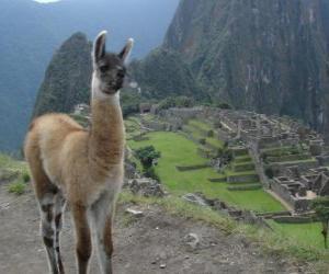 Puzzle Lama, l'animaux les plus connu de l'ancien Empire Inca
