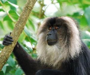 Puzzle Le macaque à queue de lion ou ouandérou