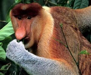 Puzzle Le nasique (Nasalis larvatus) est un singe arboricole de la famille des Cercopithecidés. Le nasique se nomme aussi le singe de trompe.