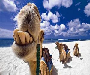 Puzzle Les chameaux des Rois Mages de repos sur le chemin de Bethléem