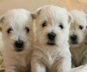 Puzzle Les chiots Chien West Highland White Terrier