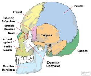 Puzzle Les os du crâne humain