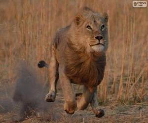 Puzzle Lion chassant sa proie