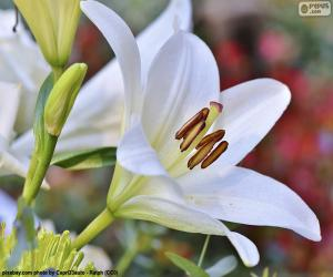 Puzzle Lis asiatique blanc