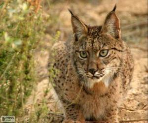 Puzzle Lynx européen