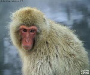 Puzzle Macaque japonais