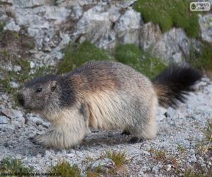 Puzzle Marmotte des Alpes