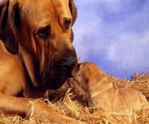Puzzle Mastiff, avec son chiot