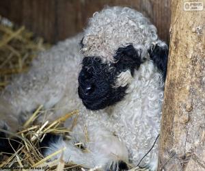 Puzzle Moutons de nez noir