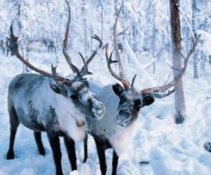 Puzzle Noël rennes dans la forêt