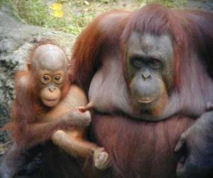 Puzzle orang-outan avec son bébé