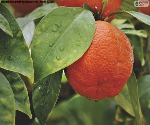 Puzzle Orange dans l'arborescence