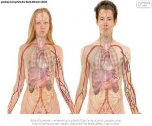 Puzzle Organes du corps