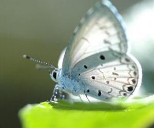 Puzzle Papillon blanc