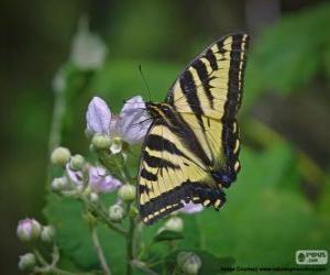 Puzzle Papillon glauque, papillon originaire de l'est de l'Amérique du Nord