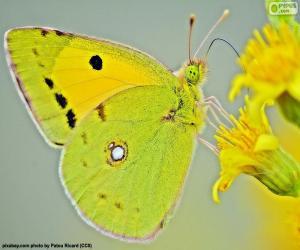 Puzzle Papillon lime