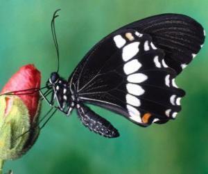 Puzzle Papillon noir