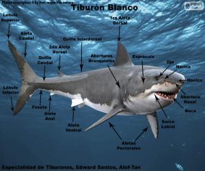 Puzzle Parties du requin blanc