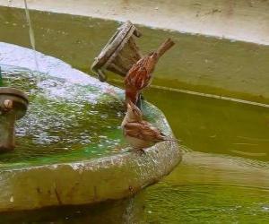 Puzzle Petits oiseaux pataugeant dans une fontaine