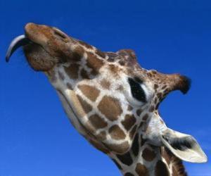 Puzzle Portrait de la  tête d'une girafe belle