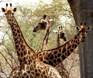 Puzzle Quatre girafes