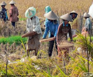 Puzzle Récolte du riz, Indonésie