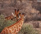 Deux jirafas, l'on mange herbe tandis que l'autre regarde