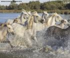 Troupeau de chevaux sauvages dans l'eau