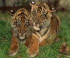 De jeunes tigres