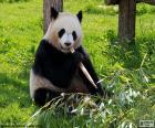 Panda mangeant