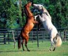 Deux chevaux élevés