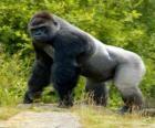 Grand gorille