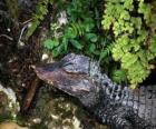 Tête d'un crocodile se tenant à l'affût d'une proie entre les plantes
