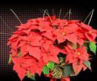 Poinsettia, la fleur de Noël
