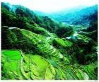 Rizières en terrasses des cordillères des Philippines