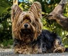 Chien Terrier