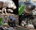 Hippopotame pygmée au zoo de Taronga