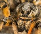 Une tarentule, une grosse araignée aux longues pattes pleine de poils