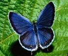 papillon bleu aux ailes grandes ouvertes