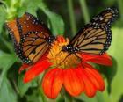 deux beaux papillons en face à face