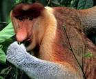 Le nasique (Nasalis larvatus) est un singe arboricole de la famille des Cercopithecidés. Le nasique se nomme aussi le singe de trompe.