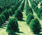 plantation d'arbres de Noël